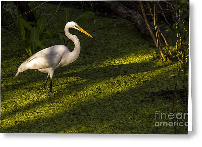 White Birds Greeting Cards - White Egret Greeting Card by Marvin Spates