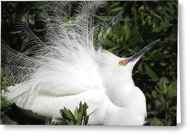 Alligator Farm Greeting Cards - White Egret Greeting Card by Nian Chen