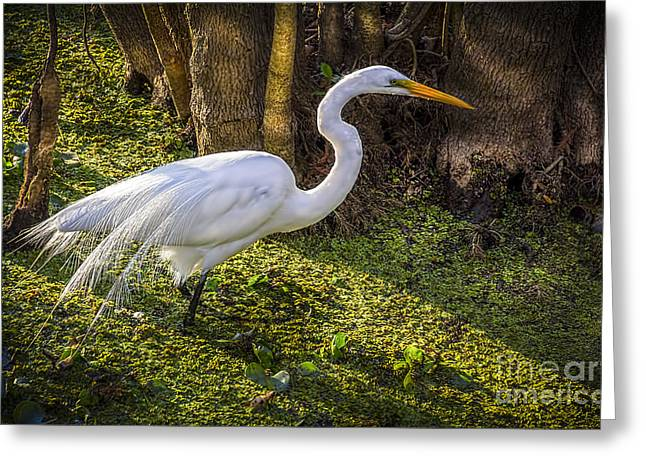White Birds Greeting Cards - White Egret on the Hunt Greeting Card by Marvin Spates