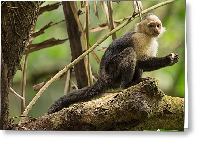 Natural Focal Point Photography Greeting Cards - White-Faced Capuchin Monkey in Costa Rica 2 Greeting Card by Natural Focal Point Photography