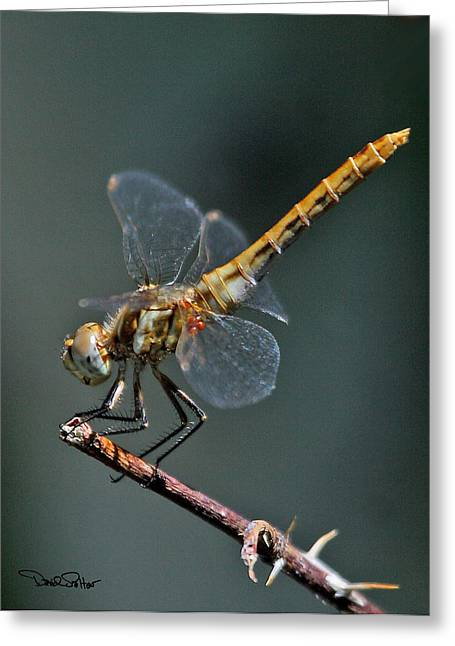 Meadowhawk Greeting Cards - White-faced Meadowhawk Greeting Card by David Salter
