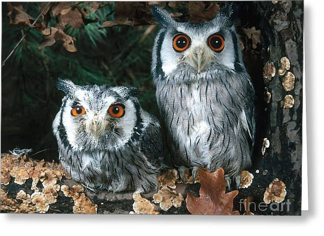 White Faced Scops Owl Greeting Card by Hans Reinhard