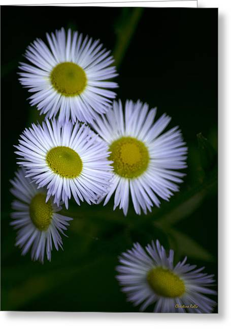 Aster Greeting Cards - White Fleabane Wildflowers Greeting Card by Christina Rollo