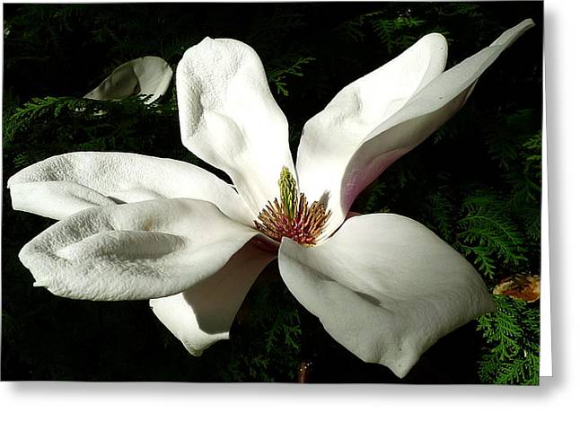 Pestal Greeting Cards - White flower  Greeting Card by Dwight Pinkley