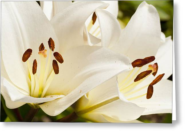 White Flowers Greeting Card by Oscar Karlsson