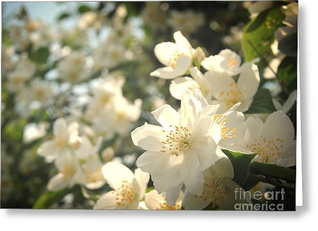 Sunlight On Flowers Greeting Cards - White Flowers In Spring Greeting Card by Samantha Black