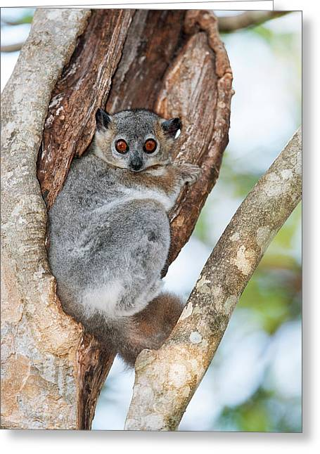 White-footed Sportive Lemur Greeting Card by Dr P. Marazzi