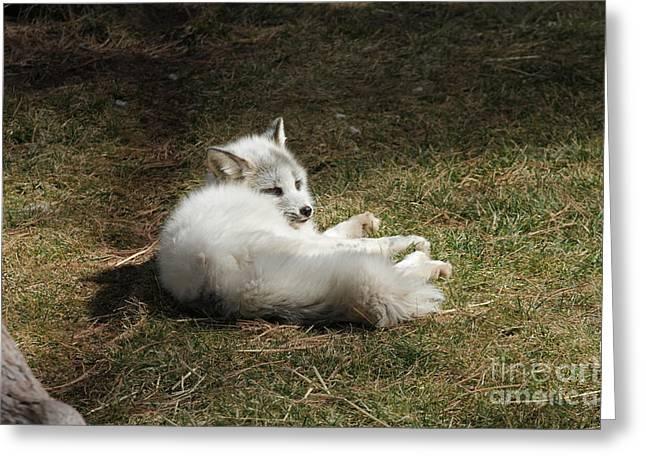 Bearizona Greeting Cards - White Fox Greeting Card by Cooper Staton
