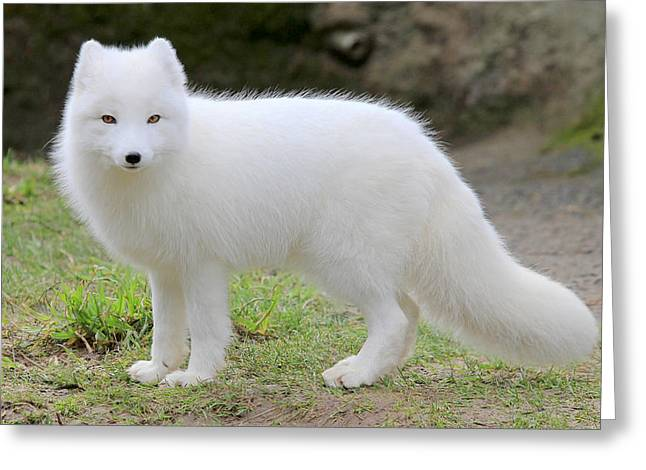 Bright Art Of Dogs Greeting Cards - White Fox III Greeting Card by Athena Mckinzie