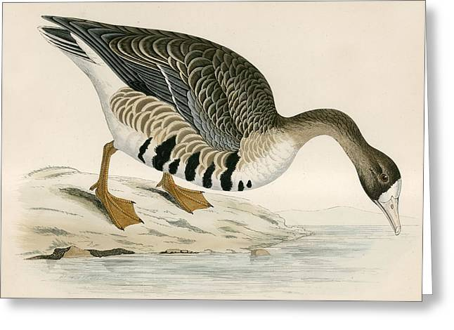 Hunting Bird Greeting Cards - White Fronted Goose Greeting Card by Beverley R. Morris