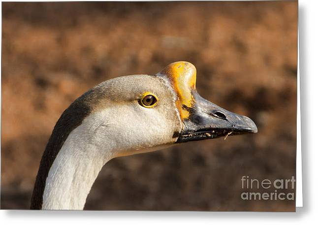 White Fronted Goose-portrait Greeting Card by Douglas Barnard