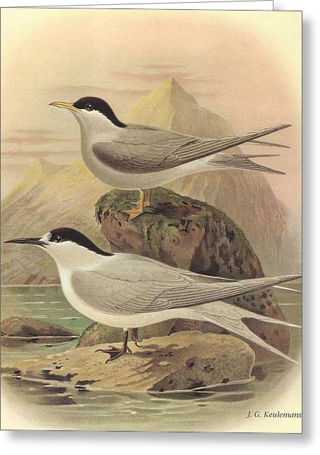 Tern Paintings Greeting Cards - White Fronted Tern and Black Fronted Tern Greeting Card by J G Keulemans
