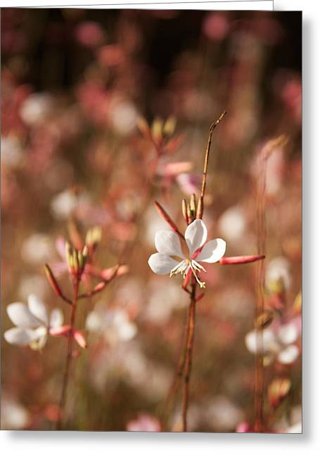 Gift Ideas For Her Greeting Cards - White Gaura flower Greeting Card by Sammy Miller