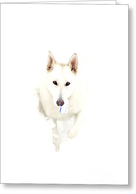Guard Dog Photographs Greeting Cards - White German Shepherd in Snow Greeting Card by Thomas R Fletcher