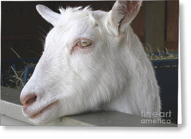 Animal Reliefs Greeting Cards - White Goat Greeting Card by Ann Horn