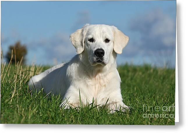 White Golden Retriever dog lying in grass Greeting Card by Dog Photos