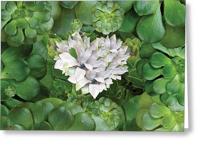 White Cactus Flower Greeting Cards - White Green Flower Greeting Card by Alixandra Mullins