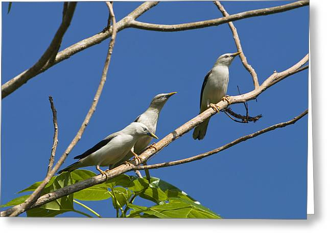 Starlings Greeting Cards - White-headed Starlings Havelock Isl Greeting Card by Konrad Wothe
