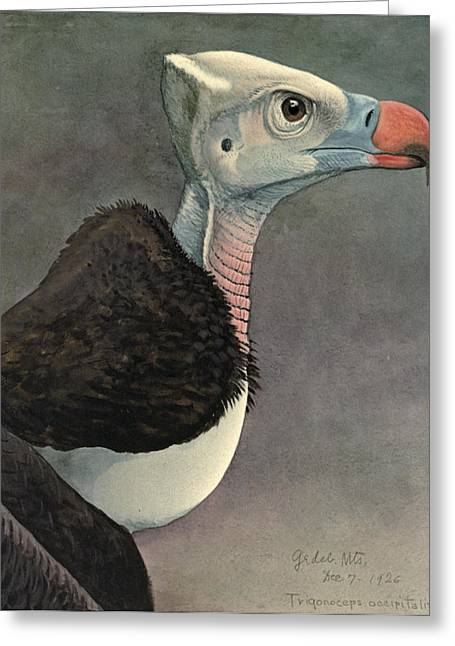 White Paintings Greeting Cards - White Headed Vulture Greeting Card by Louis Agassiz Fuertes