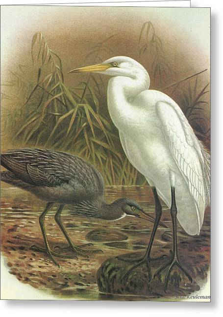 White Paintings Greeting Cards - White Heron and Reef Heron Greeting Card by J G Keulemans