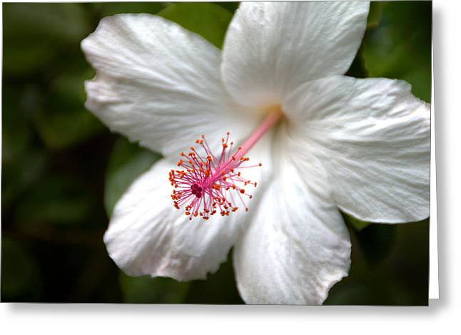 Mallow Greeting Cards - White Hibiscus Greeting Card by Brian Harig