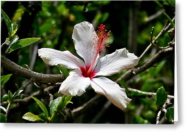 Stamen Pyrography Greeting Cards - White Hibiscus Greeting Card by DUG Harpster