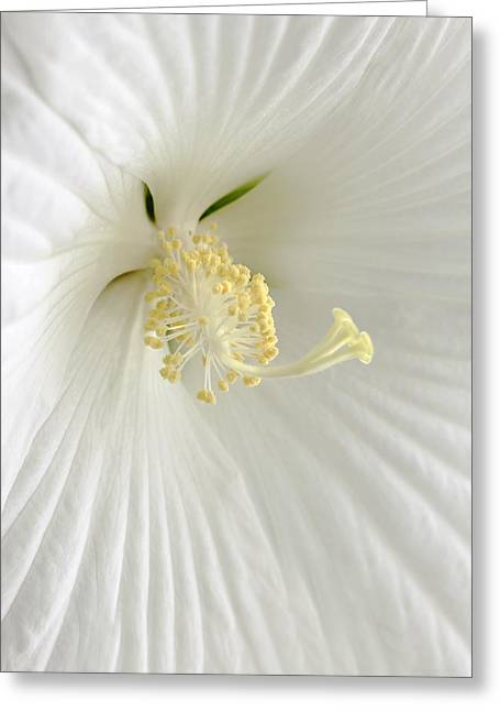 White Hibiscus Flower Marco Greeting Card by Jennie Marie Schell