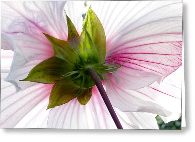 Green Abstract Greeting Cards - White Hibiscus Flower  Greeting Card by Marina Kojukhova