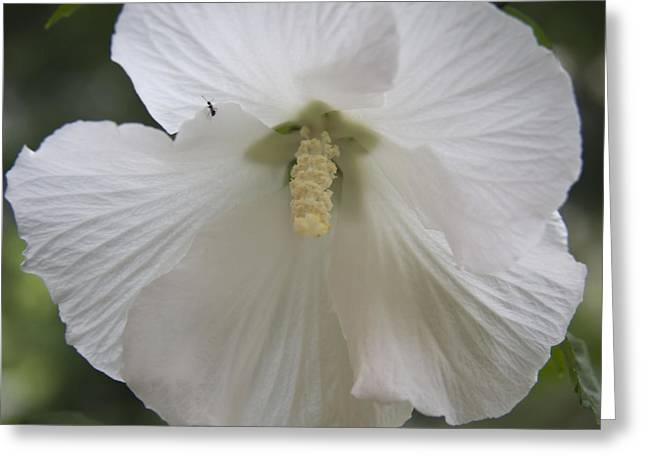 Rose Of Sharon Greeting Cards - White Hibiscus Squared Greeting Card by Teresa Mucha