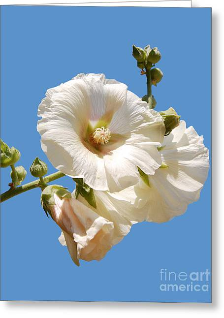 Althea Photographs Greeting Cards - White hollyhock isolated on blue Greeting Card by Susan Montgomery