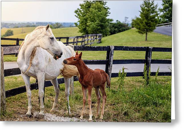 Bluegrass Greeting Cards - White horse and her colt Greeting Card by Alexey Stiop