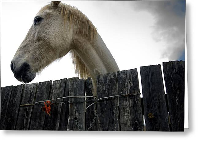 Wooden Fence Greeting Cards - White horse Greeting Card by Bernard Jaubert