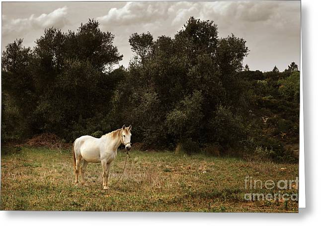 White Photographs Greeting Cards - White Horse Greeting Card by Carlos Caetano