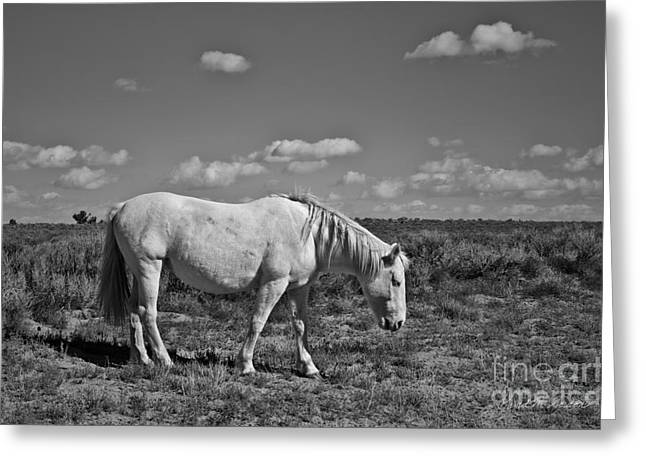 Equus Ferus Greeting Cards - White Horse in the High Desert BW Greeting Card by David Gordon
