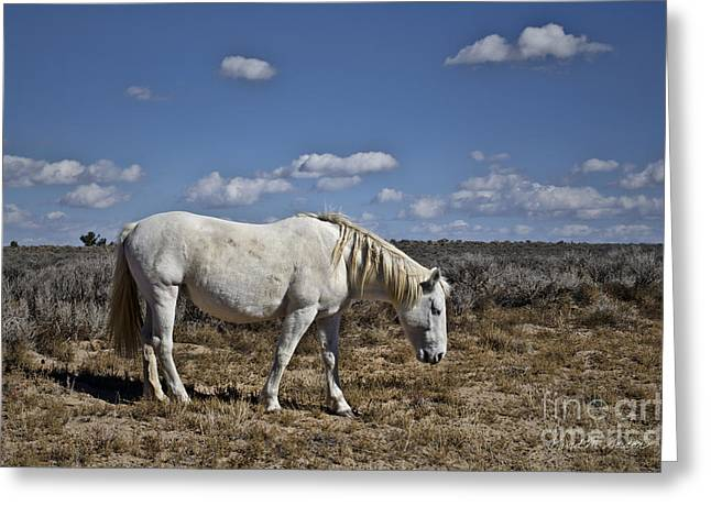 Equus Ferus Greeting Cards - White Horse in the High Desert Greeting Card by David Gordon