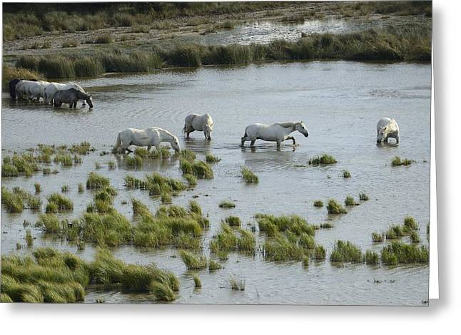 Languedoc Greeting Cards - White Horses Greeting Card by Christian Heeb