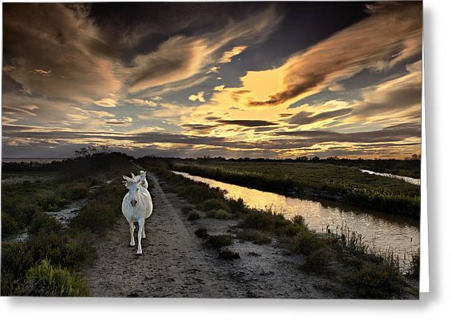 Gloaming Greeting Cards - White horses of the Camargue at dusk Greeting Card by Laurence Delderfield