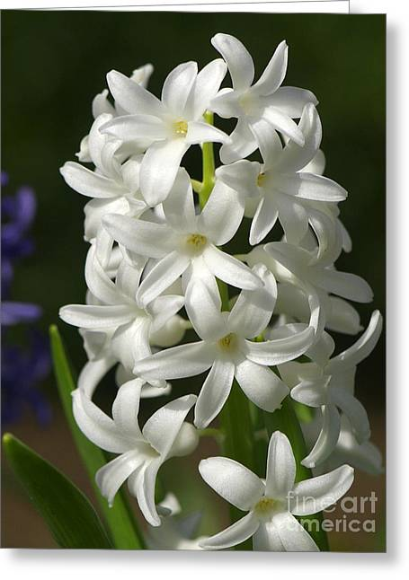 Spring Bulbs Greeting Cards - White Hyacinth Greeting Card by Sharon  Talson