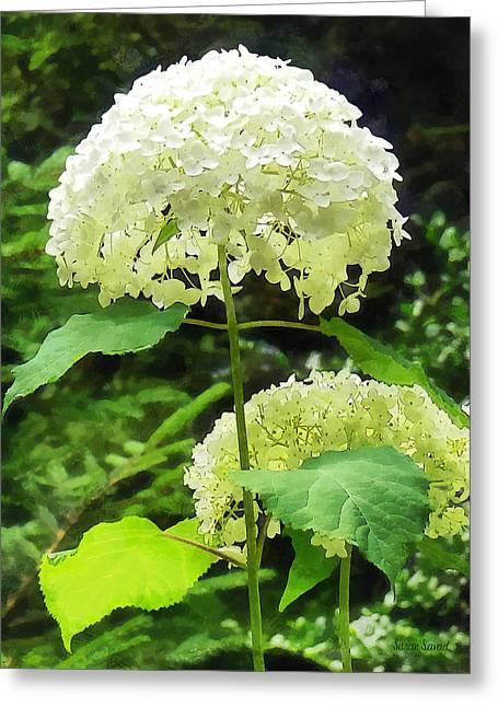 Hydrangea Greeting Cards - White Hydrangea in Garden Greeting Card by Susan Savad