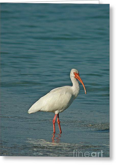 Ibis Greeting Cards - White Ibis Greeting Card by Cindi Ressler