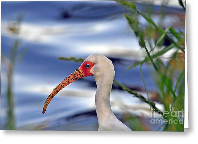 Intriguing Ibis Greeting Card by Al Powell Photography USA