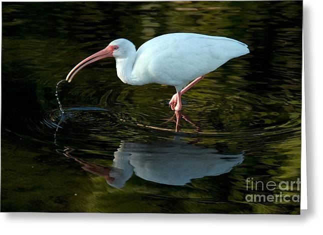 Ibis Greeting Cards - White Ibis Eudocimus Albus Greeting Card by Mark Newman