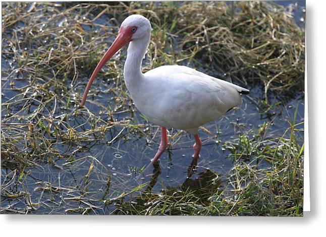Wadding Greeting Cards - White Ibis In The Swamp Greeting Card by Christiane Schulze Art And Photography