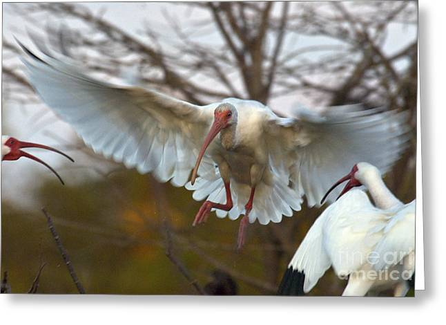 Ibis Greeting Cards - White Ibis Greeting Card by Mark Newman