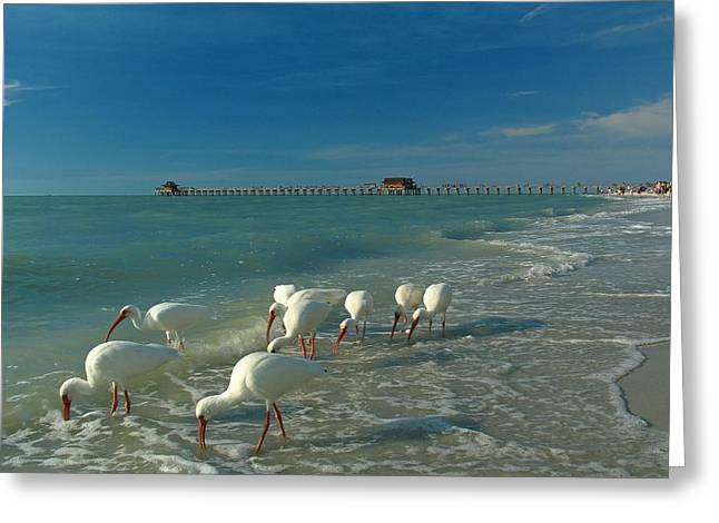 Ocean Shore Greeting Cards - White Ibis near Historic Naples Pier Greeting Card by Juergen Roth