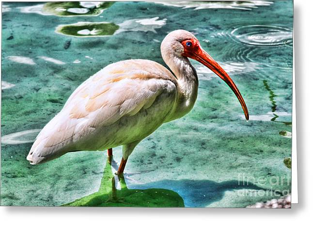 Love The Animal Greeting Cards - White Ibis on Lake Eola by Diana Sainz Greeting Card by Diana Sainz