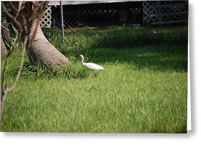 My Ocean Greeting Cards - White ibis Greeting Card by Robert Floyd