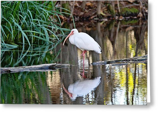 Waterbird Greeting Cards - White Ibis Greeting Card by Scott Pellegrin