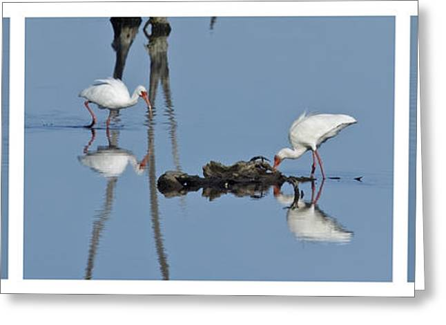 Pairs Greeting Cards - White Ibis Triptych -White Surround Greeting Card by Dawn Currie