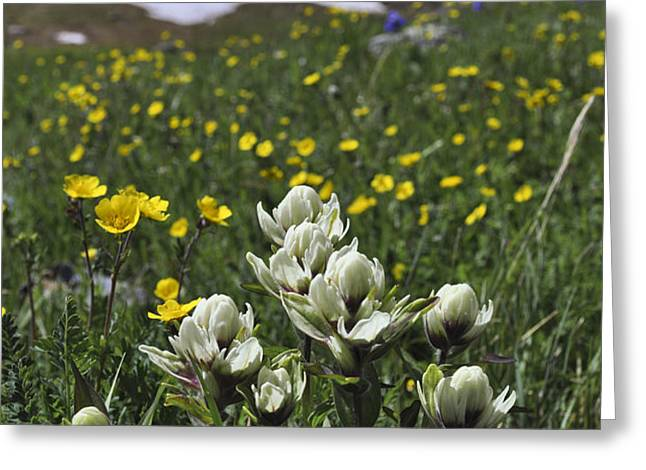 White Indian Paintbrushes Greeting Card by Aaron Spong